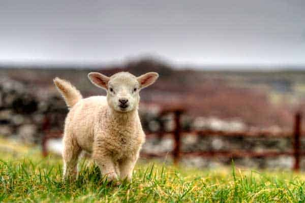 A baby sheep in a field on the Dingle Peninsula in Ireland