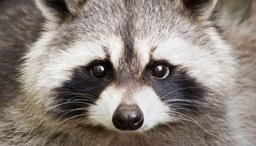 Adorable Raccoon Gains a Few Pounds… Needs to Be Rescued by Police!