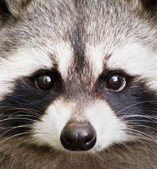 Adorable-Raccoon